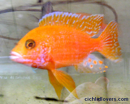 Aulonocara Firefish&quot- Cichlid | Scientific name: Aulonocara Sp ...