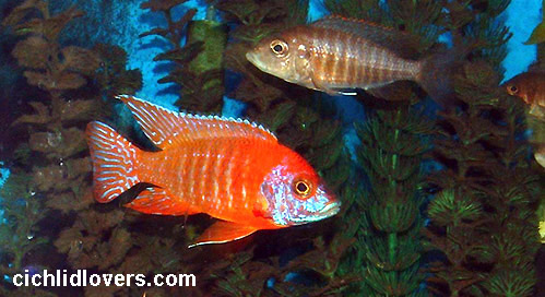 Ruby red cichlid female - photo#9