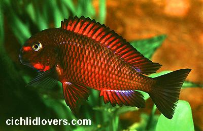 Cichlid Fish For Sale Fish For Sale Online