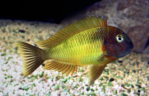 Tropheus moorii nkonde yellow for Yellow rainbow fish